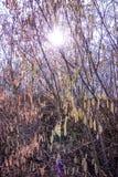 Hazelnut blossom in back light Royalty Free Stock Image