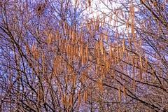 Hazelnut blossom in Germany in springtime Stock Image