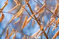 Hazelnut blossom in Germany in wintertime. With wind Stock Photo
