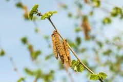 Hazelnut blossom Stock Images