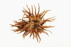Hazelnut casing close up Royalty Free Stock Images