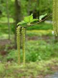 Hazelnut catkin. Royalty Free Stock Photography
