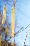 Hazelnut catkins on the tree Stock Photography