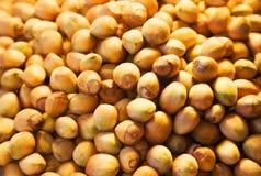 Hazelnut closeup Royalty Free Stock Images