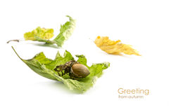 Hazelnut and dry leaves isolated on white, greeting from autumn Stock Images