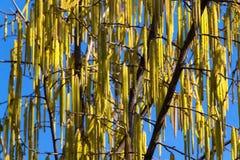 Hazelnut drzewo i męski kwiat Obrazy Stock