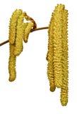 Hazelnut flower Stock Images