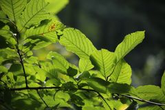 Hazelnut with green leaves on a hazel grove branch. Shallow depth-of-field stock images