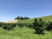 Hazelnut i wina kultywacja w Podgórskim, Włochy Fotografia Stock