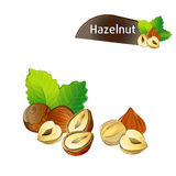 Hazelnut kernel with green leaves set. Hazelnut kernel with green leaves isolated on white background vector illustration. Organic food ingredient, traditional Stock Photography