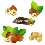 Hazelnut kernel with green leaves set. Hazelnut kernel with green leaves  on white background vector illustration. Organic food ingredient, traditional Stock Photography