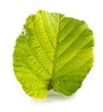 Hazelnut leaf isolated on the white background Royalty Free Stock Photo