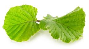 Hazelnut leaf isolated on the white background Royalty Free Stock Images