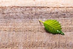Hazelnut leaf royalty free stock image