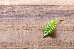 Hazelnut leaf royalty free stock images
