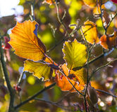 Hazelnut leaves in bright colors Royalty Free Stock Photo