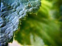 Hazelnut leaves. Macro photography of hazelnut leaves Stock Photos