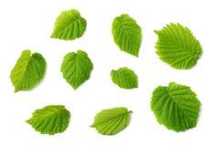 Hazelnut liście odizolowywający na białym tle Odgórny widok obrazy stock