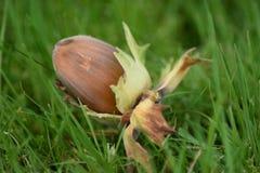 Hazelnut na zielonej trawie Obrazy Royalty Free