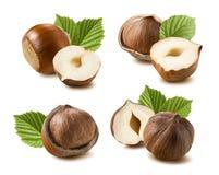 Hazelnut nut leaf set isolated on white background 7 Royalty Free Stock Photo