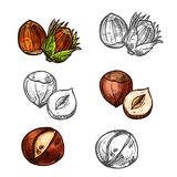 Hazelnut nuts vector sketch icons. Hazelnut nuts color sketch icon.s Vector isolated botanical design of hazel nut or cobnut or filbert nut peeled and whole for Royalty Free Stock Photography