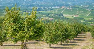 Hazelnut Plantation,Piedmont Stock Images