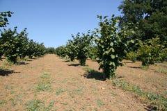 Hazelnut plantation. Hazelnut young plantation,outdoor view Stock Photography