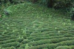 Hazelnut plantations Stock Photo