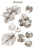 Hazelnut set of sketches. Hazelnut set of vector sketches on an white background Stock Photo