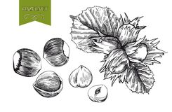 Hazelnut Royalty Free Stock Image