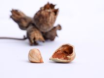 Hazelnut without shell and rest of a husk. Hazelnut without shell, rest of a husk and dried twig in the background Royalty Free Stock Image