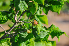 Hazelnut stricken with disease. Royalty Free Stock Photography