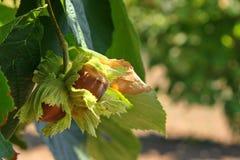 Free Hazelnut Tonda Stock Image - 33604201