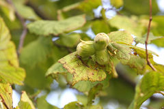 Hazelnut tree Royalty Free Stock Photography