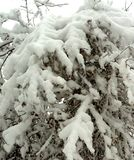 Hazelnut tree covered with heavy snow. Hazelnut tree, completely covered with pure white, heavy snow and tiny snowflakes falling from the winter sky stock photography