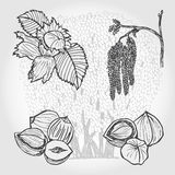 Hazelnut, tree and nuts, vector sketch Stock Image
