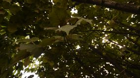 Hazelnut tree. Picture of a  Hazelnut tree stock footage