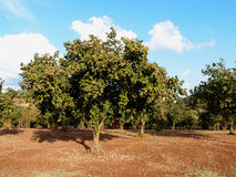 Hazelnut trees Royalty Free Stock Photography