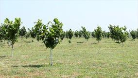 Hazelnut trees plantation stock footage