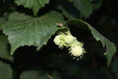 Hazelnut. Unmature hazelnut plant. Nature beauties Stock Images
