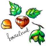 Hazelnut Stock Photo