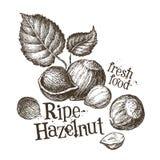 Hazelnut vector logo design template. fresh walnut Stock Image