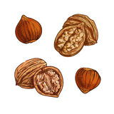 Hazelnut and walnut sketch for healthy food design Stock Images