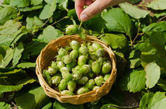 Hazelnut in wicker dish hand woman hand hold nut. Hazelnut in wicker dish and woman hand hold nut bunch. Healthy ecologic natural nutrition Stock Image