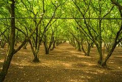 Hazelnut wood in italy Stock Image