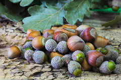 Hazelnuts and Acorns Royalty Free Stock Image
