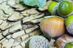 Hazelnuts and Acorns Stock Photography