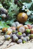 Hazelnuts and Acorns Royalty Free Stock Photo