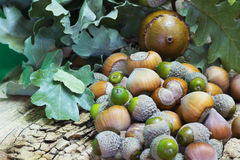 Hazelnuts and Acorns Royalty Free Stock Images