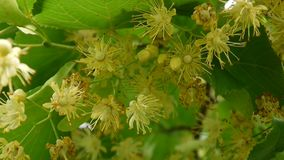 Hazelnuts on the branch close up. HD video footage. Static camera stock video footage